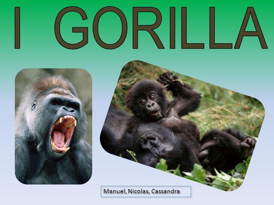 I GORILLA Manuel, Nicolas, Cassandra