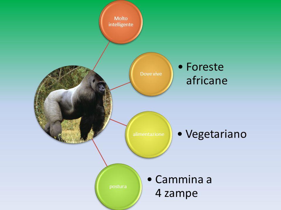 Molto intelligente Dove vive Foreste africane alimentazione Vegetariano postura Cammina a 4 zampe