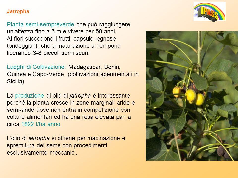 Jatropha Pianta semi-sempreverde che può raggiungere un altezza fino a 5 m e vivere per 50 anni.