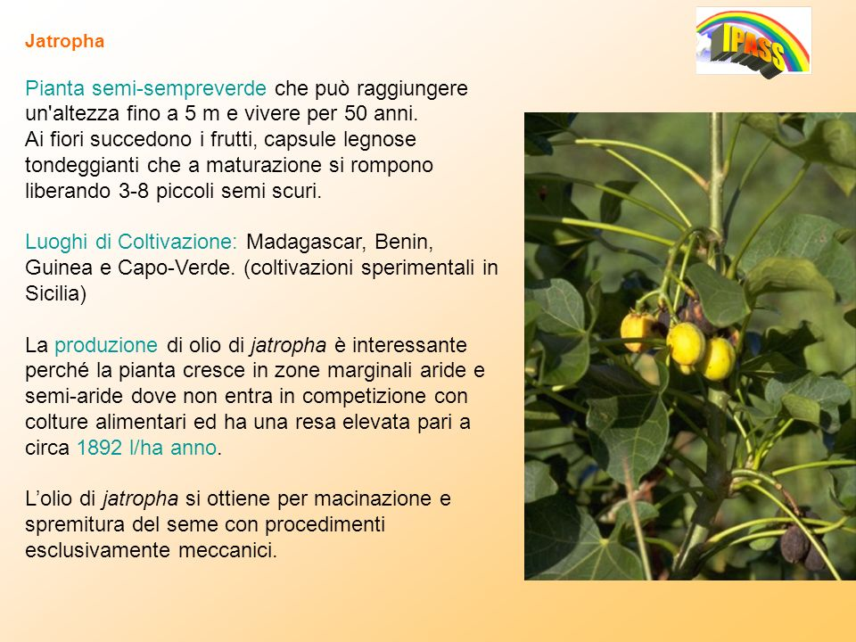 JatrophaPianta semi-sempreverde che può raggiungere un altezza fino a 5 m e vivere per 50 anni.