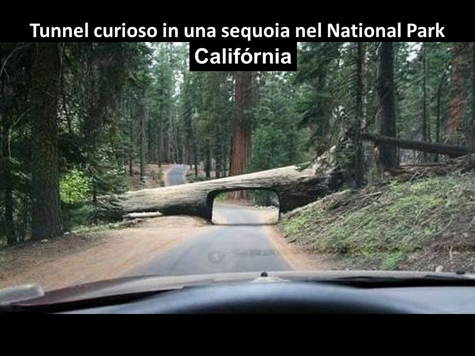 Tunnel curioso in una sequoia nel National Park