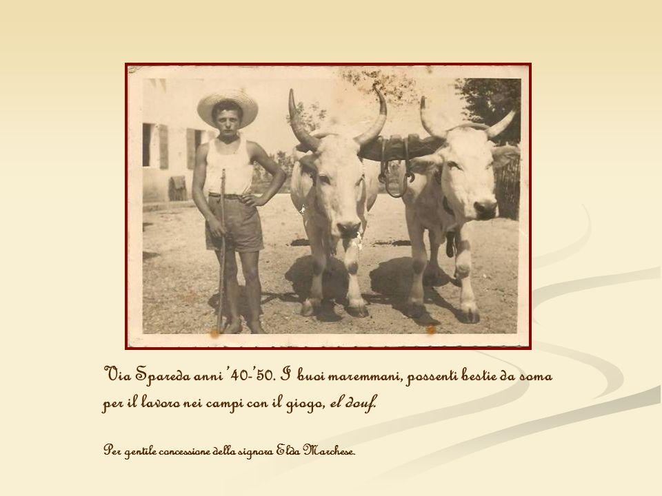 Via Spareda anni '40-'50. I buoi maremmani, possenti bestie da soma