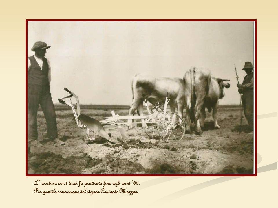 L' aratura con i buoi fu praticata fino agli anni '30.
