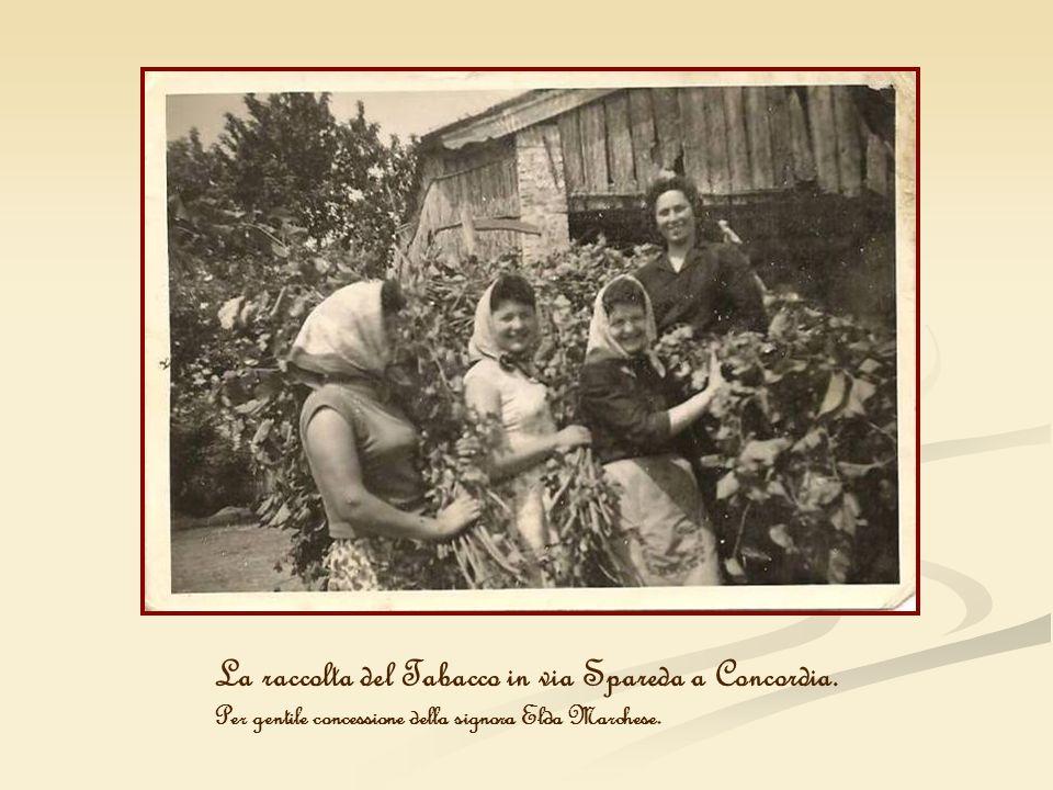 La raccolta del Tabacco in via Spareda a Concordia.