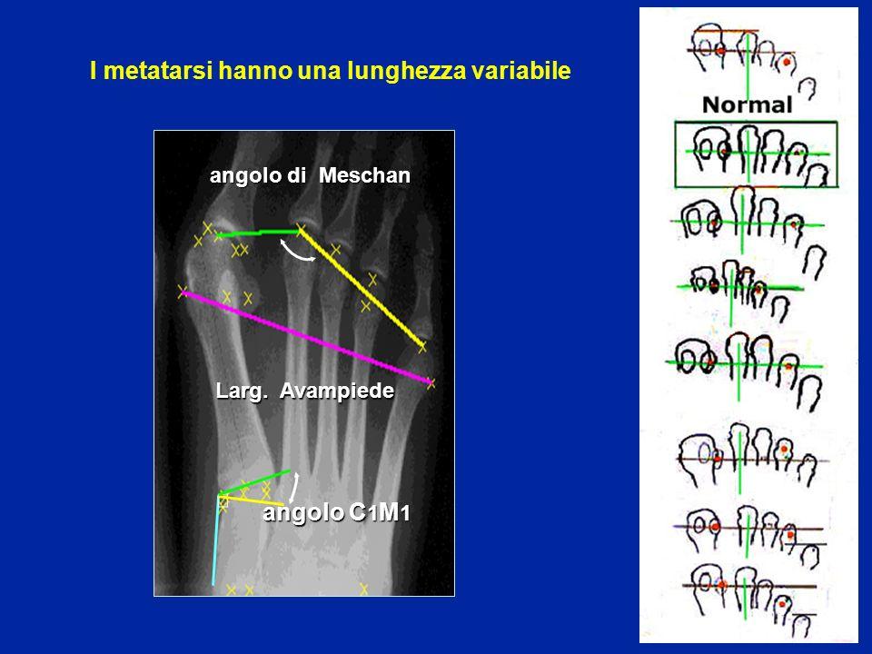 I metatarsi hanno una lunghezza variabile