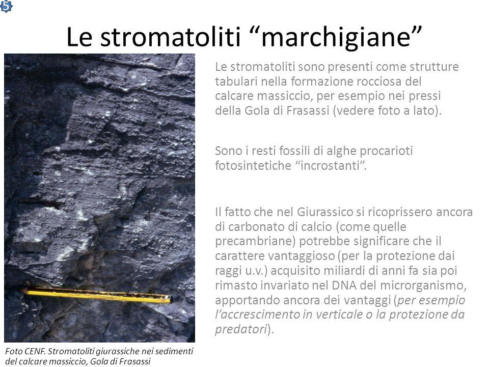 Le stromatoliti marchigiane
