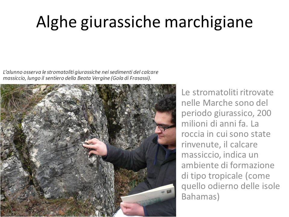 Alghe giurassiche marchigiane