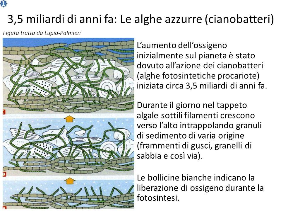 3,5 miliardi di anni fa: Le alghe azzurre (cianobatteri)
