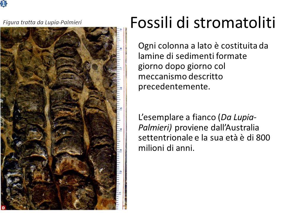 Fossili di stromatoliti