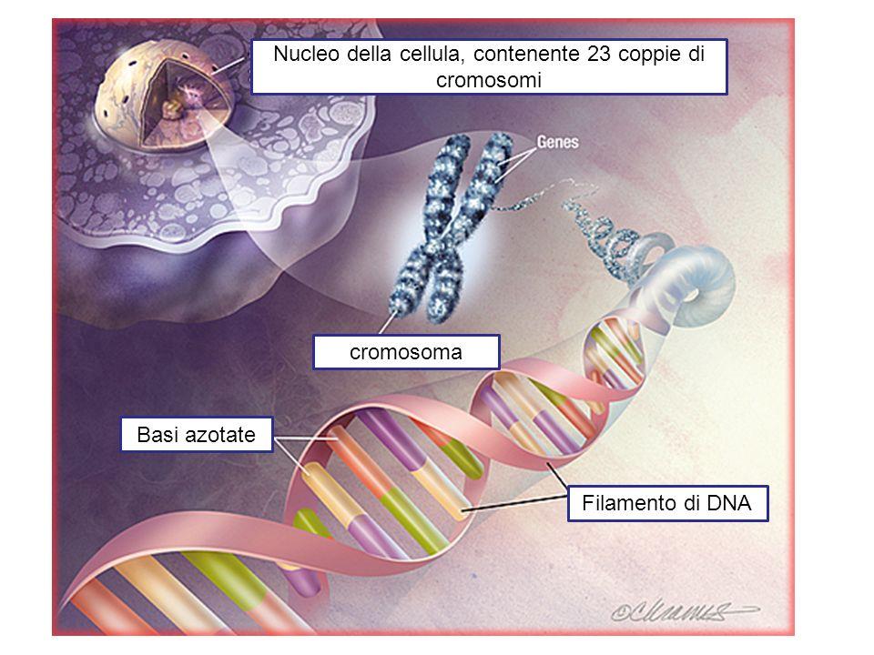 Nucleo della cellula, contenente 23 coppie di cromosomi