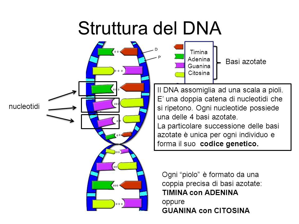 Struttura del DNA Basi azotate Il DNA assomiglia ad una scala a pioli.
