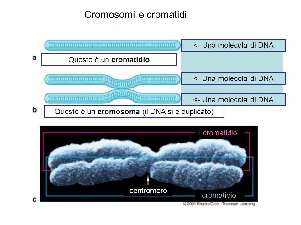 Cromosomi e cromatidi <- Una molecola di DNA Questo è un cromatidio