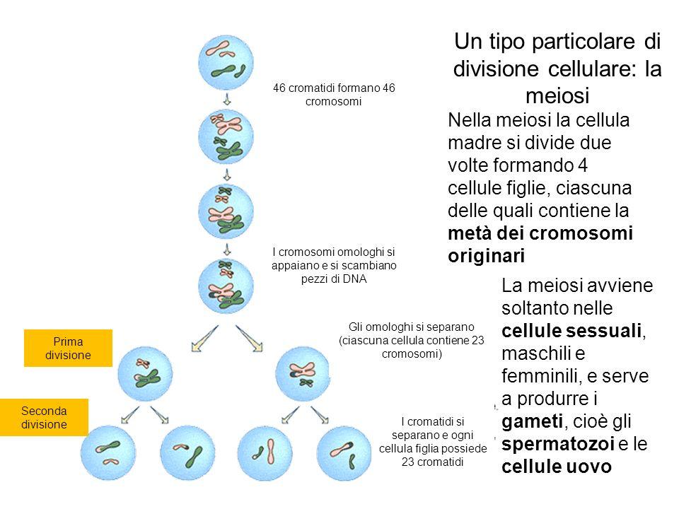 Un tipo particolare di divisione cellulare: la meiosi
