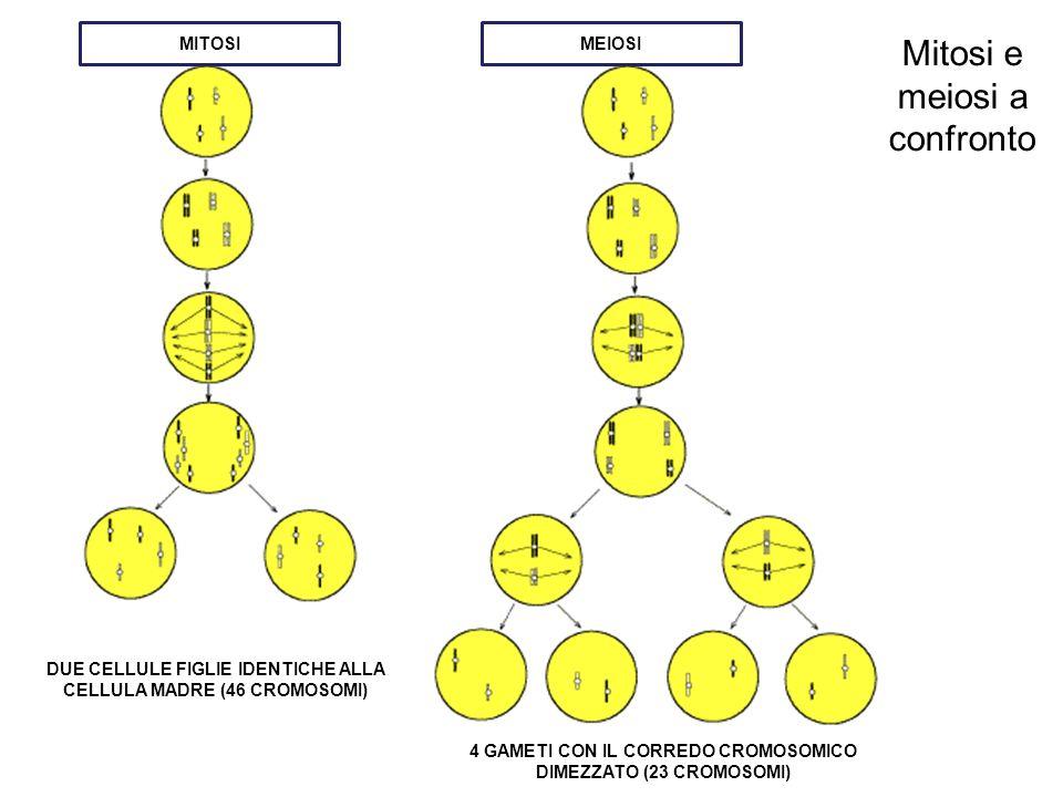 Mitosi e meiosi a confronto