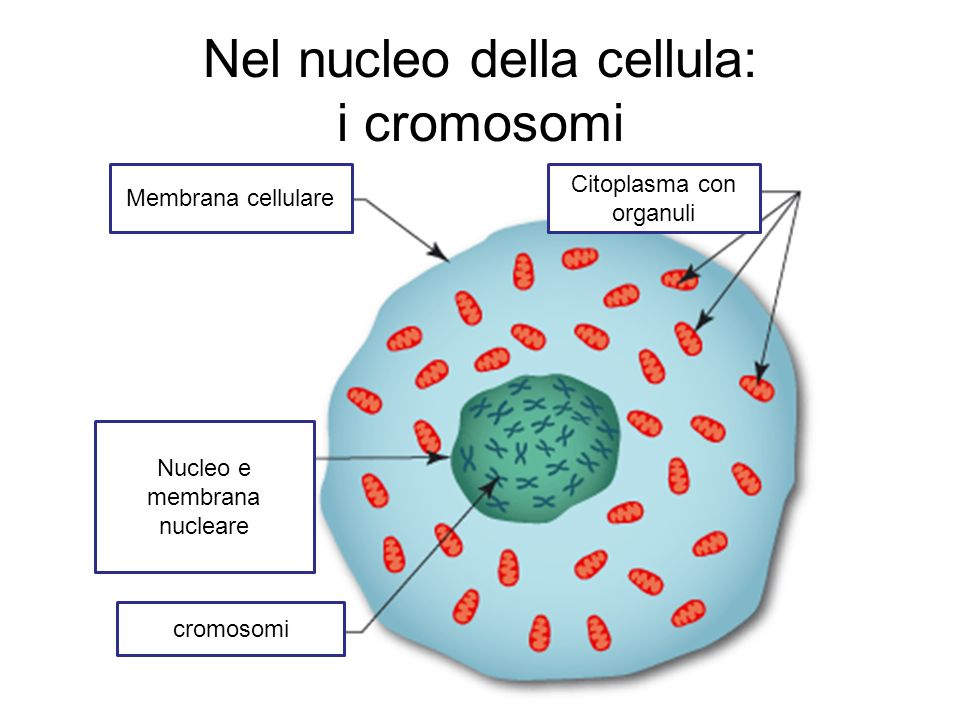 Nel nucleo della cellula: i cromosomi