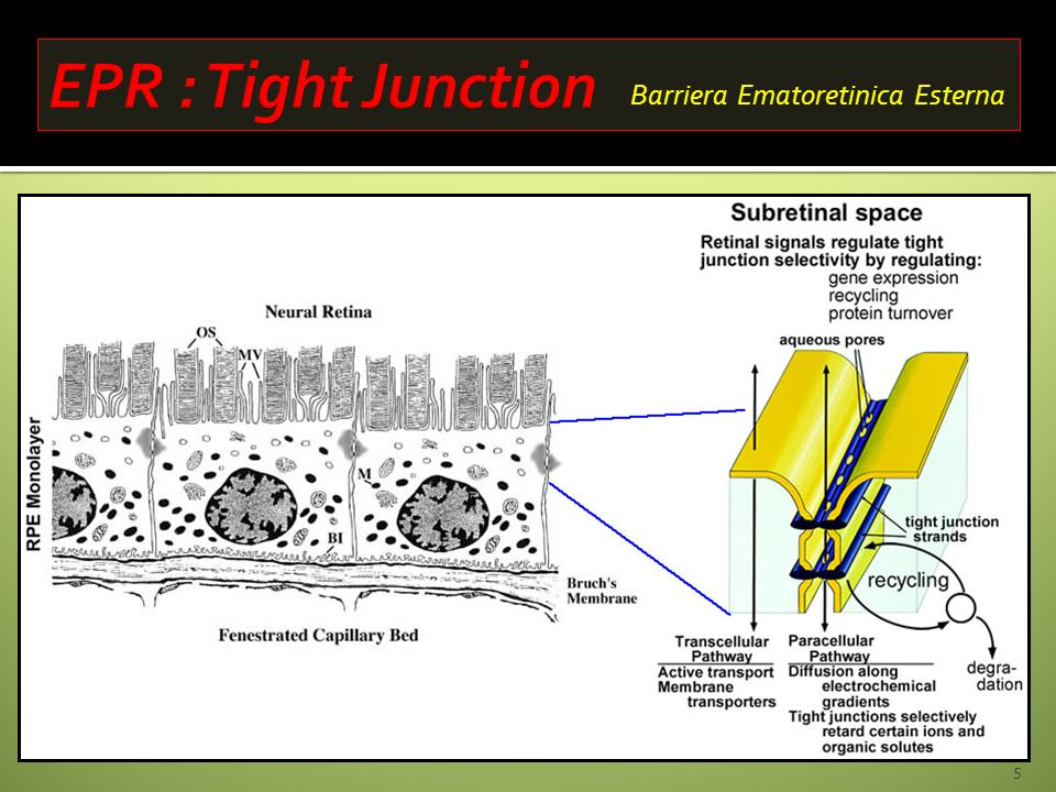 EPR : Tight Junction Barriera Ematoretinica Esterna