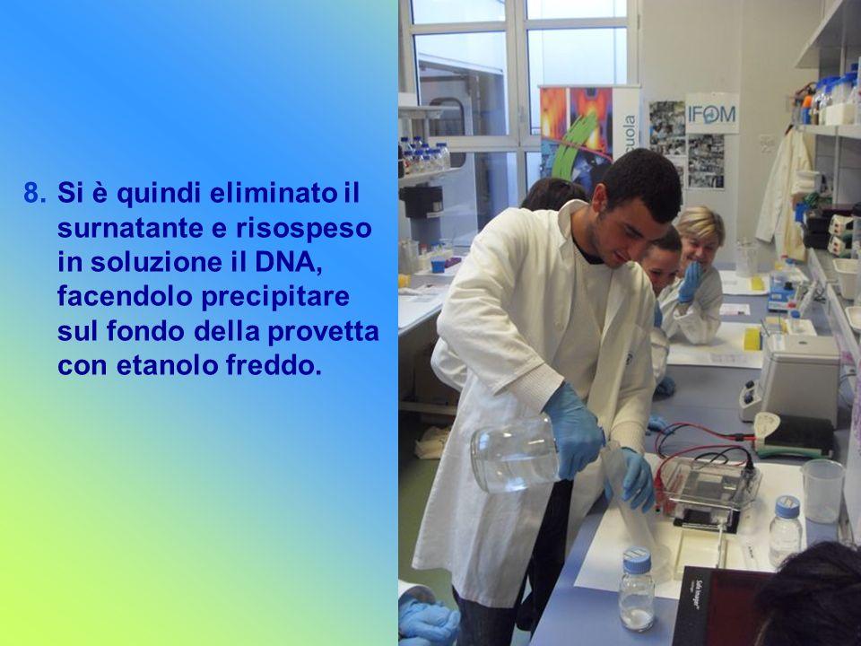 Si è quindi eliminato il surnatante e risospeso in soluzione il DNA, facendolo precipitare sul fondo della provetta con etanolo freddo.