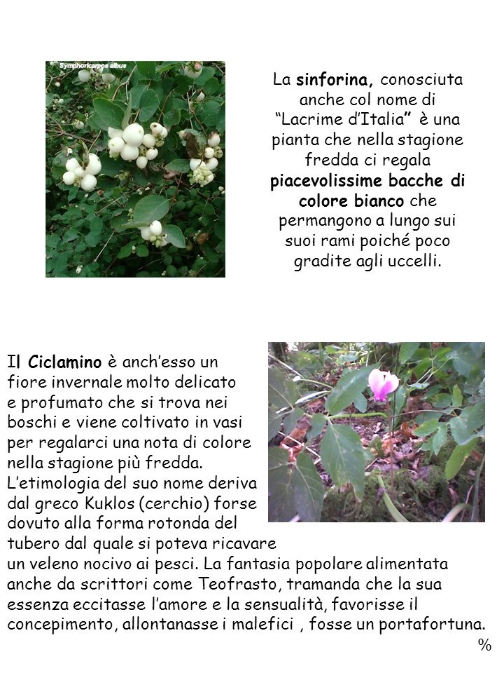 La sinforina, conosciuta anche col nome di Lacrime d'Italia è una pianta che nella stagione fredda ci regala piacevolissime bacche di colore bianco che permangono a lungo sui suoi rami poiché poco gradite agli uccelli.