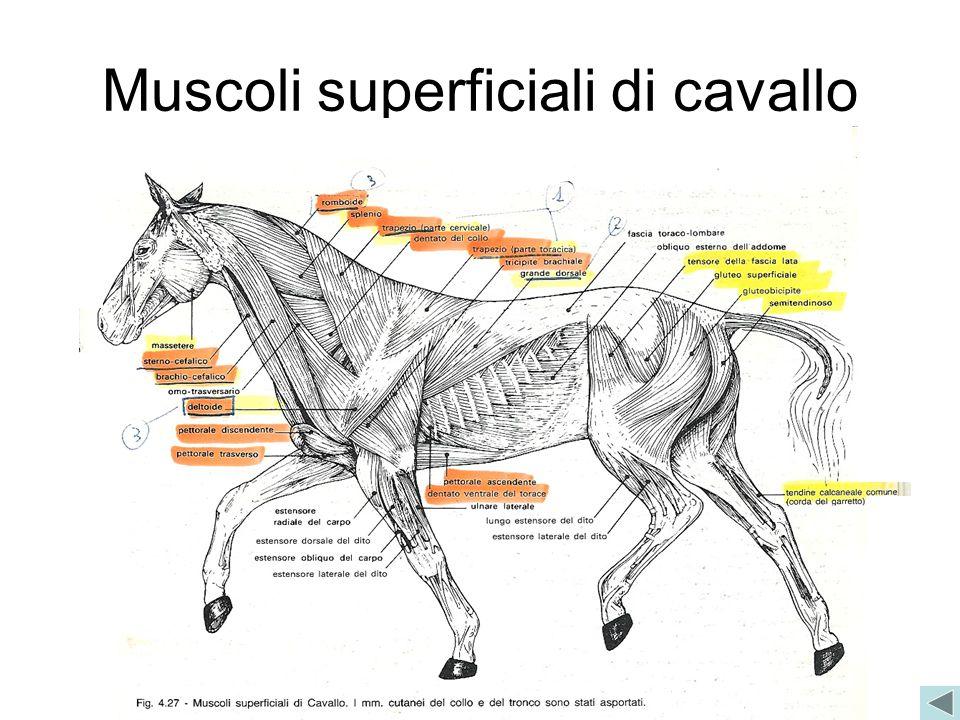 Muscoli superficiali di cavallo