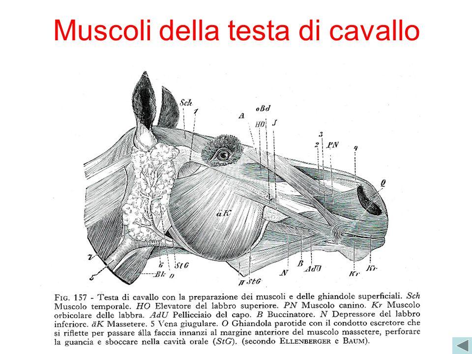 Muscoli della testa di cavallo