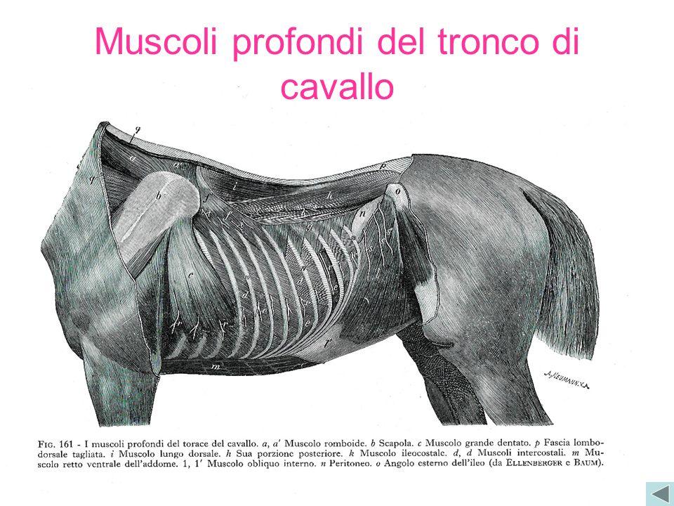 Muscoli profondi del tronco di cavallo
