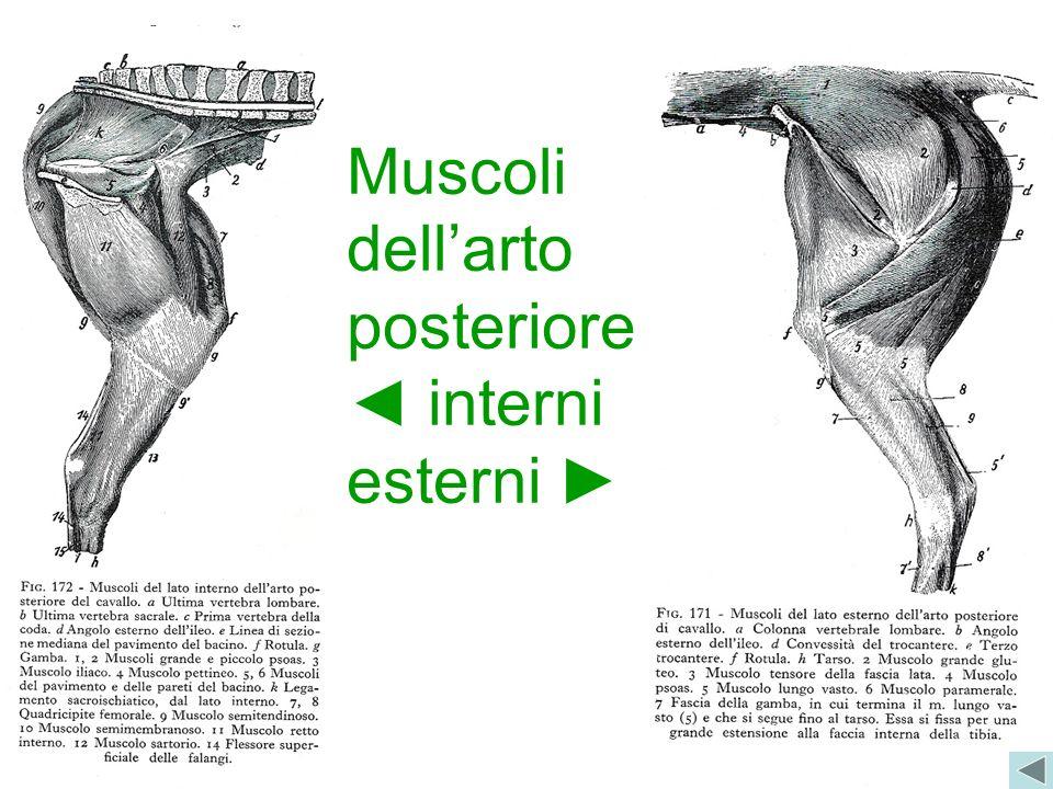 Muscoli dell'arto posteriore ◄ interni esterni ►