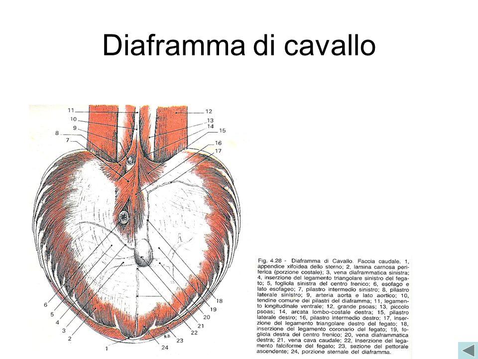 Diaframma di cavallo