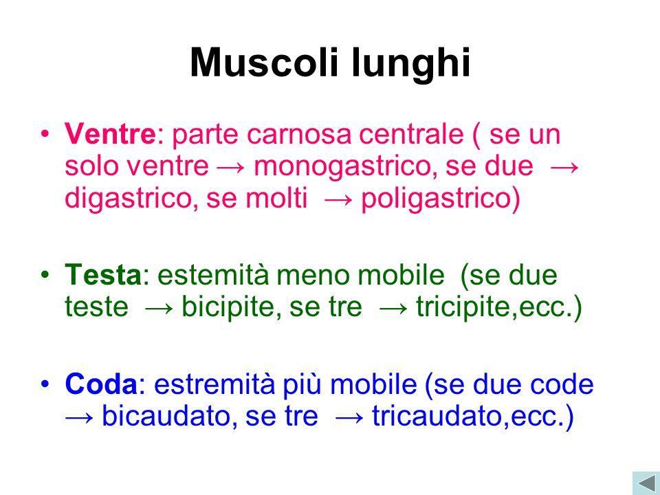 Muscoli lunghi Ventre: parte carnosa centrale ( se un solo ventre → monogastrico, se due → digastrico, se molti → poligastrico)