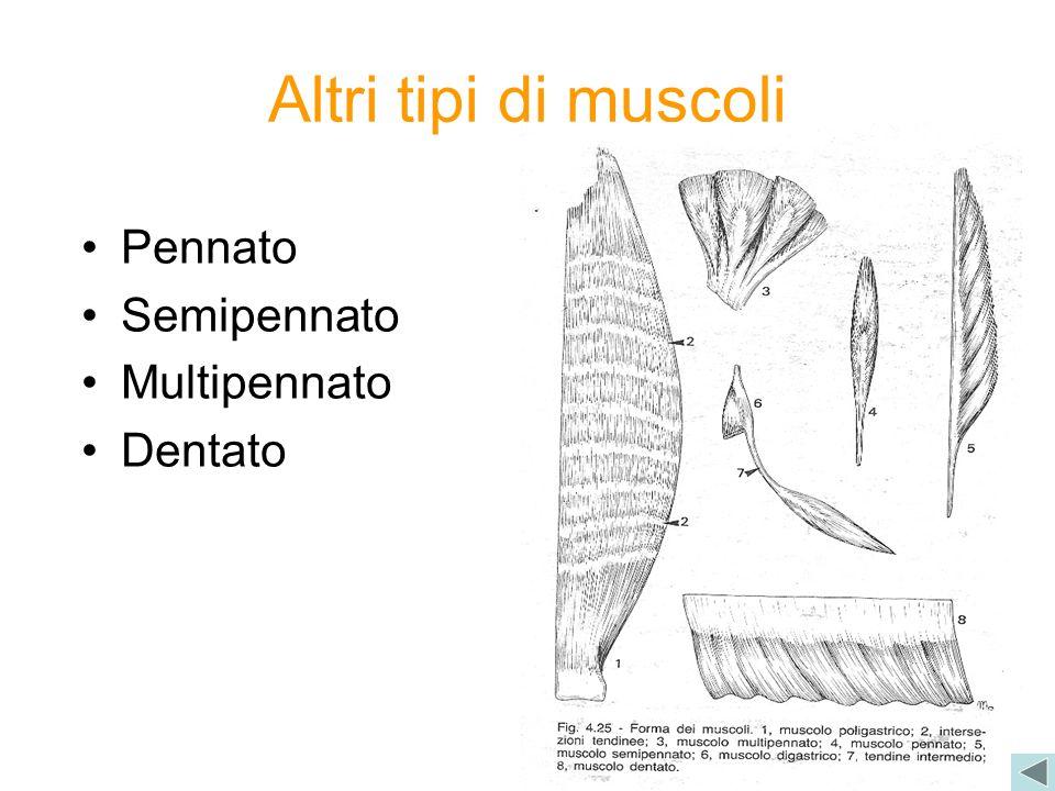 Altri tipi di muscoli Pennato Semipennato Multipennato Dentato