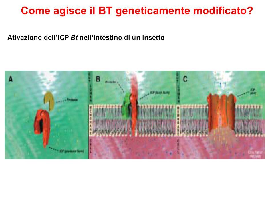 Come agisce il BT geneticamente modificato