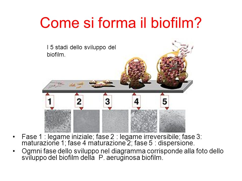 Come si forma il biofilm