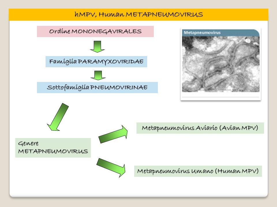 hMPV, Human METAPNEUMOVIRUS
