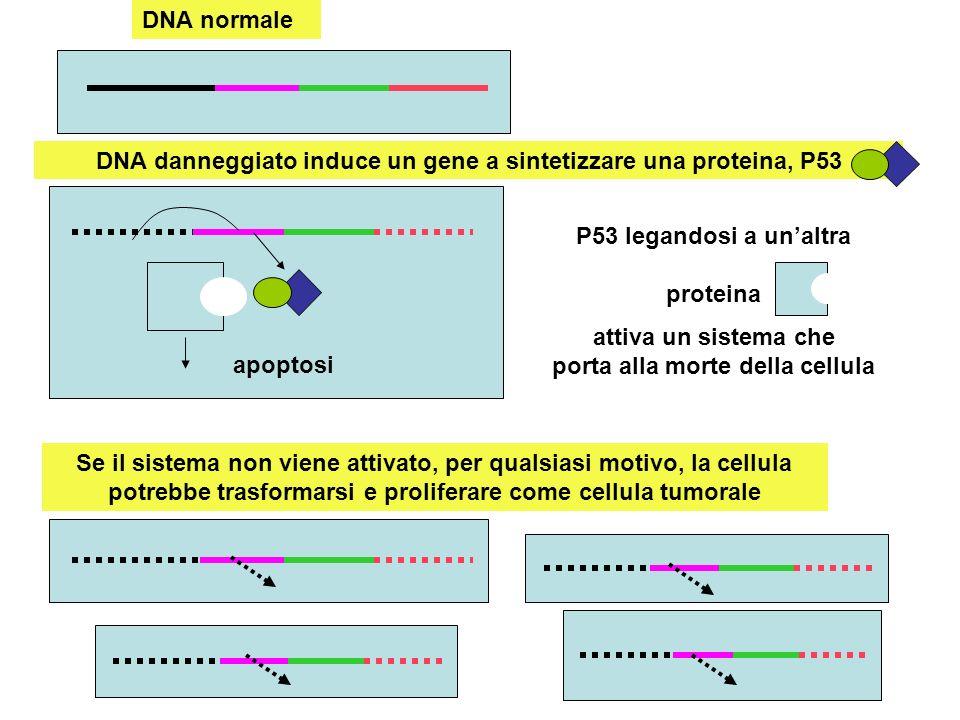 DNA danneggiato induce un gene a sintetizzare una proteina, P53