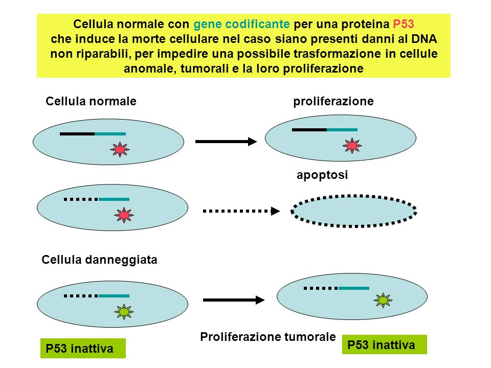 Cellula normale con gene codificante per una proteina P53 che induce la morte cellulare nel caso siano presenti danni al DNA non riparabili, per impedire una possibile trasformazione in cellule anomale, tumorali e la loro proliferazione