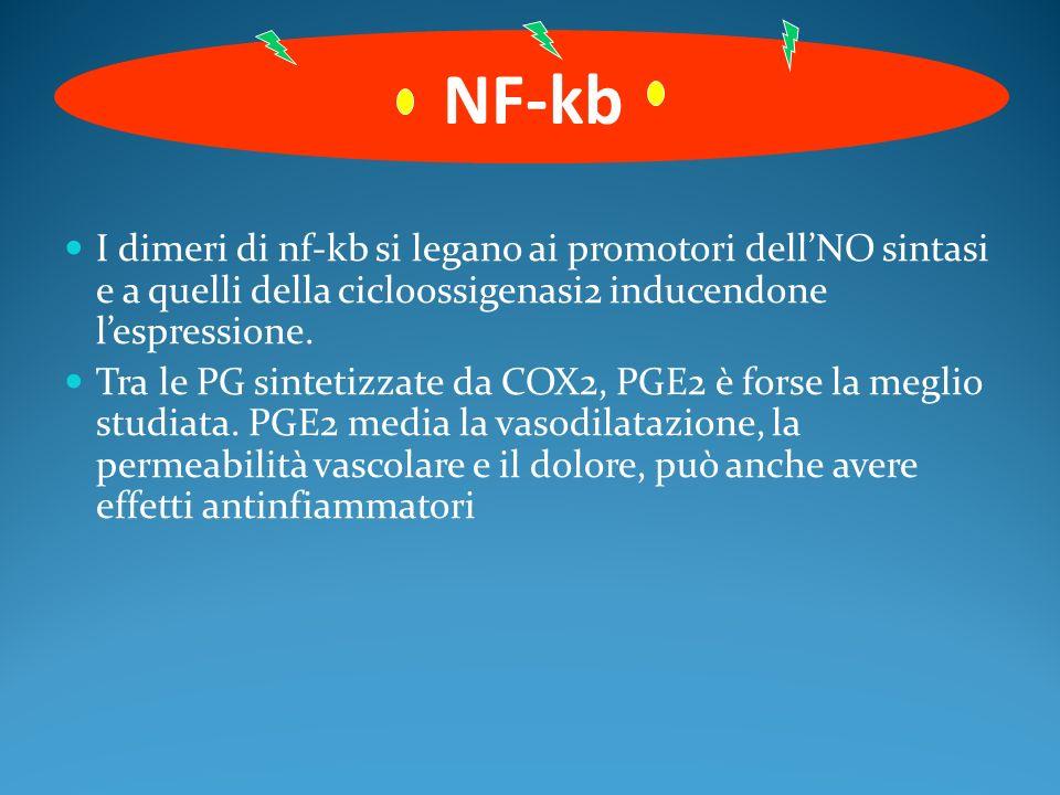 NF-kb I dimeri di nf-kb si legano ai promotori dell'NO sintasi e a quelli della cicloossigenasi2 inducendone l'espressione.