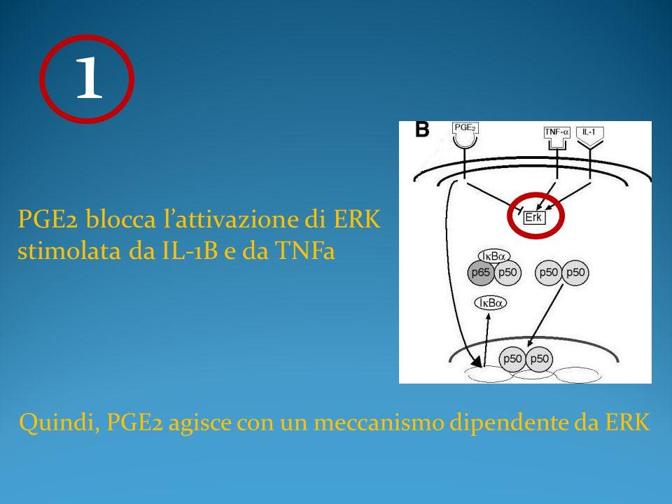 1 PGE2 blocca l'attivazione di ERK stimolata da IL-1B e da TNFa