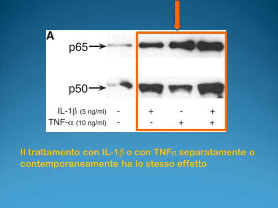 Il trattamento con IL-1β o con TNFα separatamente o contemporaneamente ha lo stesso effetto