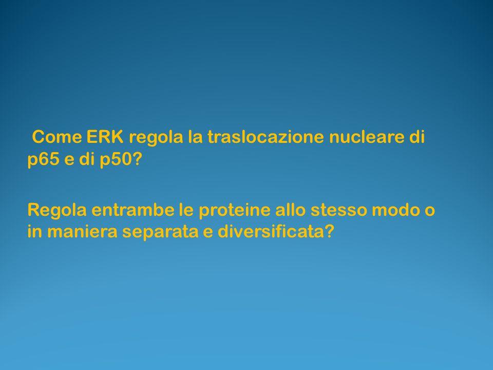 Come ERK regola la traslocazione nucleare di p65 e di p50