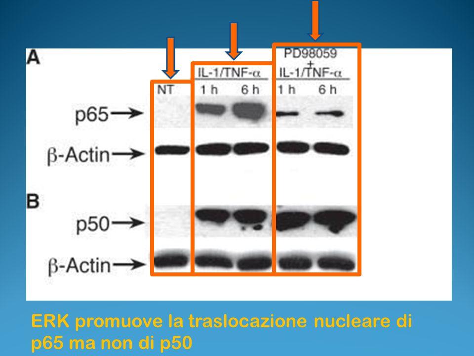 ERK promuove la traslocazione nucleare di p65 ma non di p50