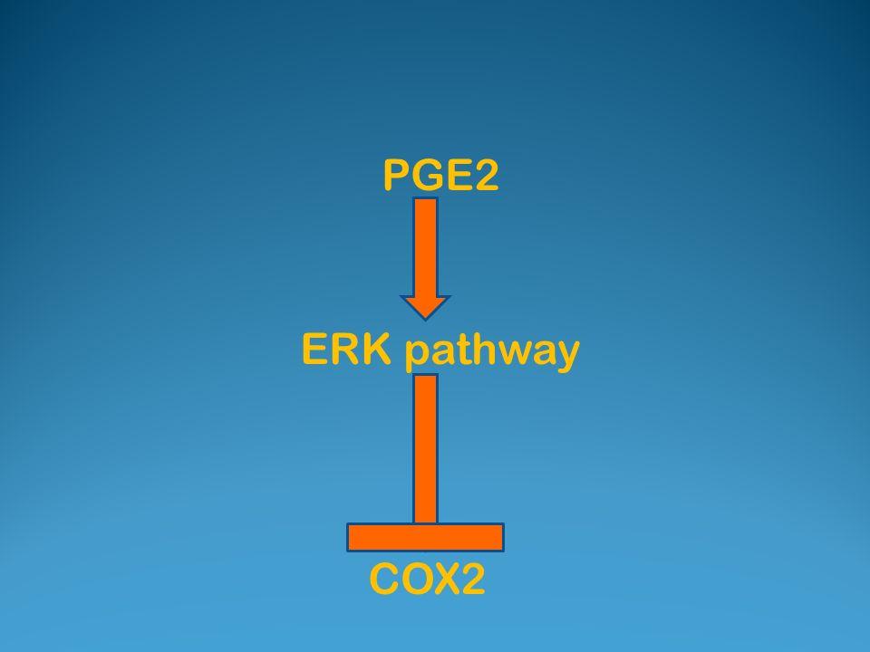 PGE2 ERK pathway COX2