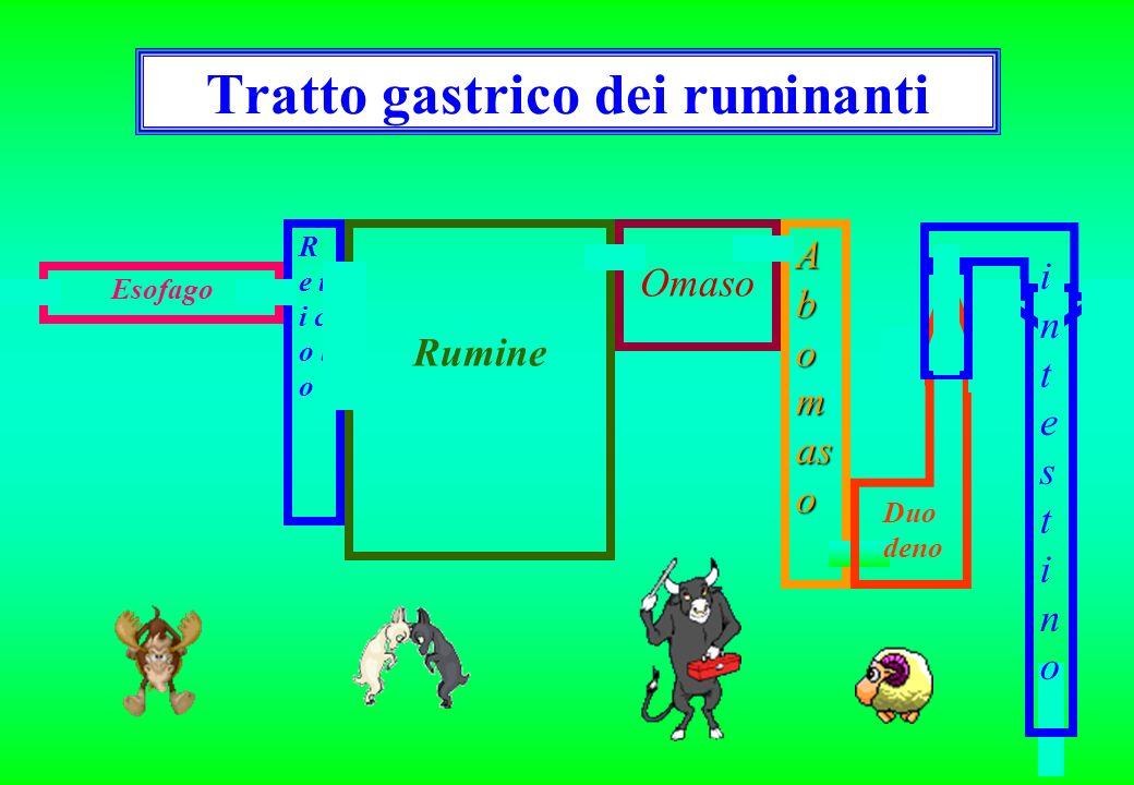 Tratto gastrico dei ruminanti