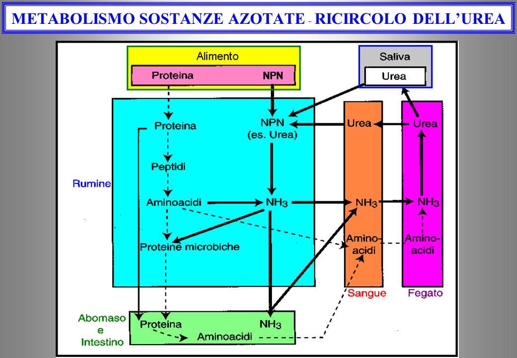 METABOLISMO SOSTANZE AZOTATE - RICIRCOLO DELL'UREA