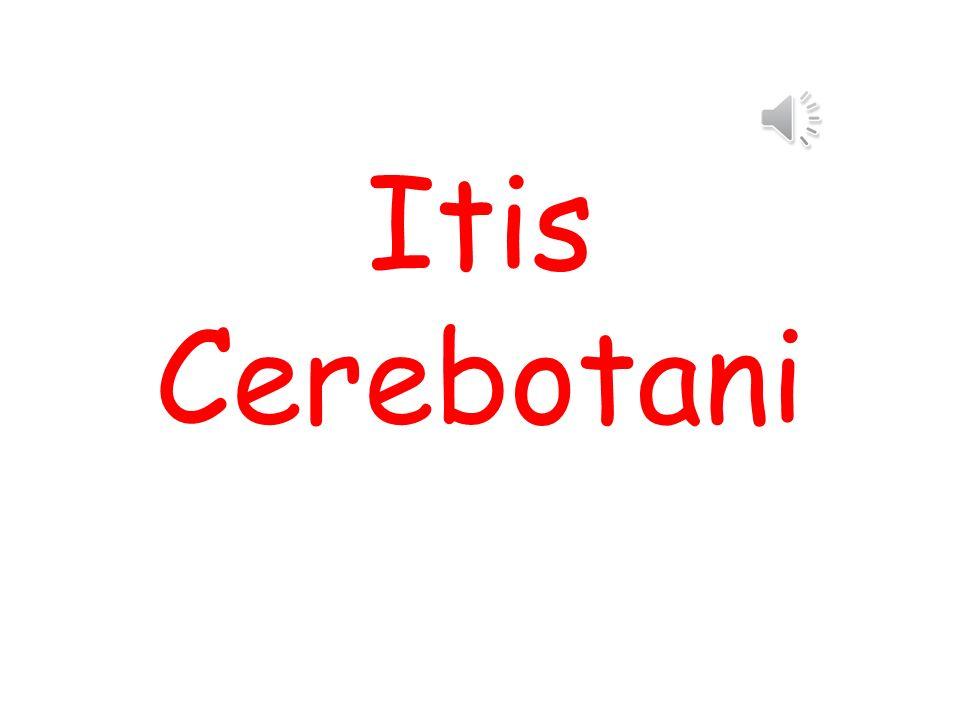 Itis Cerebotani