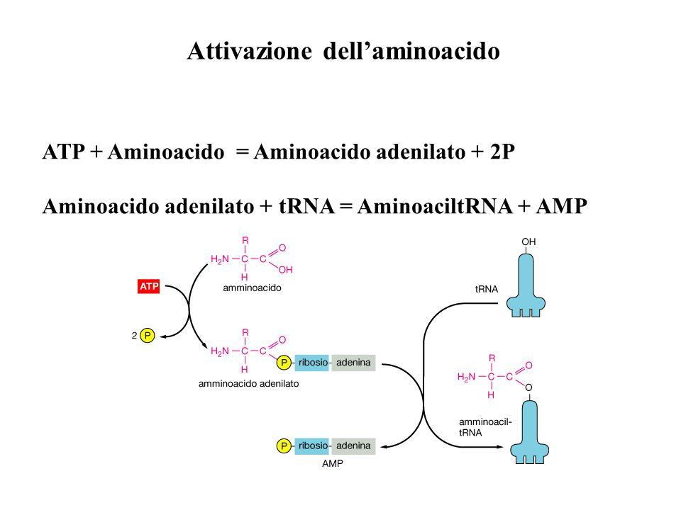 Attivazione dell'aminoacido