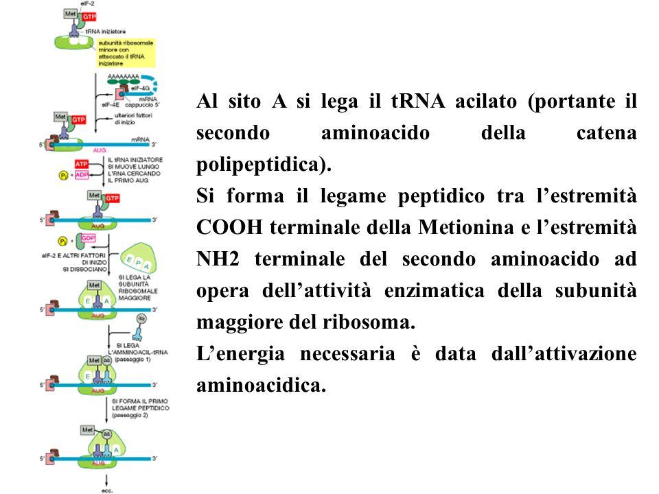Al sito A si lega il tRNA acilato (portante il secondo aminoacido della catena polipeptidica).