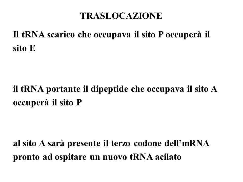 TRASLOCAZIONE Il tRNA scarico che occupava il sito P occuperà il sito E. il tRNA portante il dipeptide che occupava il sito A occuperà il sito P.
