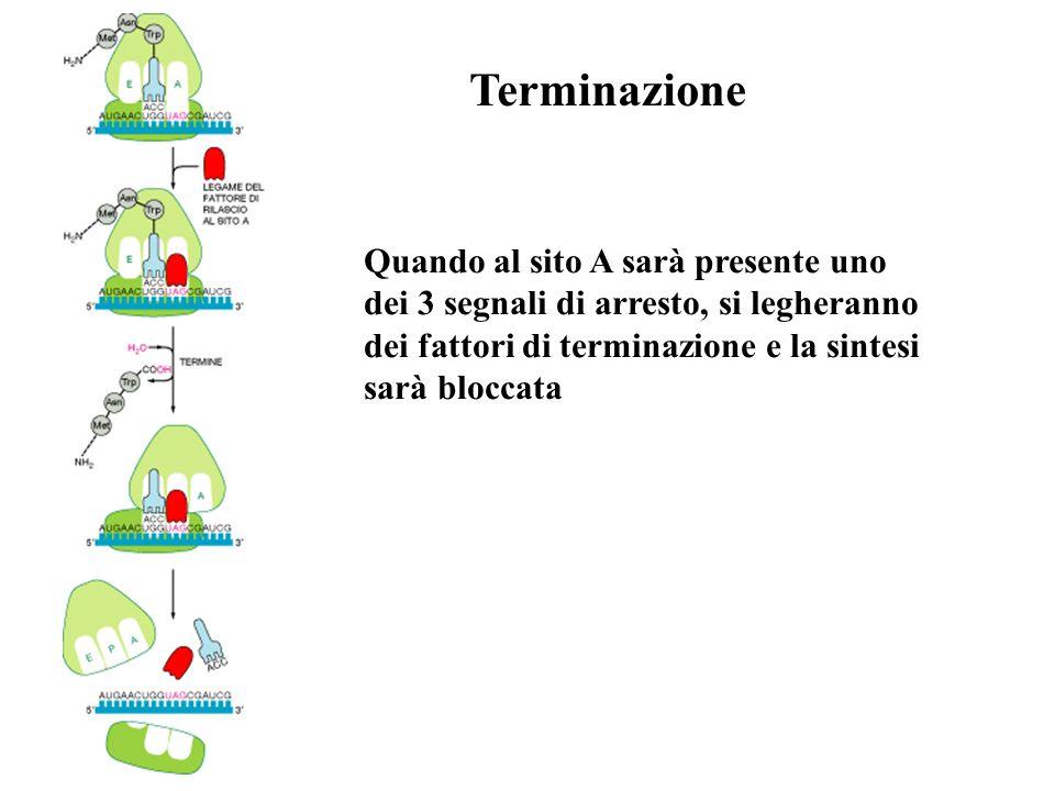 Terminazione Quando al sito A sarà presente uno dei 3 segnali di arresto, si legheranno dei fattori di terminazione e la sintesi sarà bloccata.