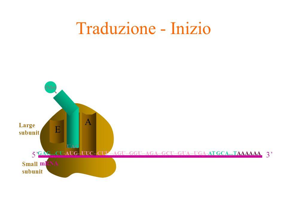 Traduzione - Inizio A E P 5' 3' Large subunit mRNA Small subunit fMet
