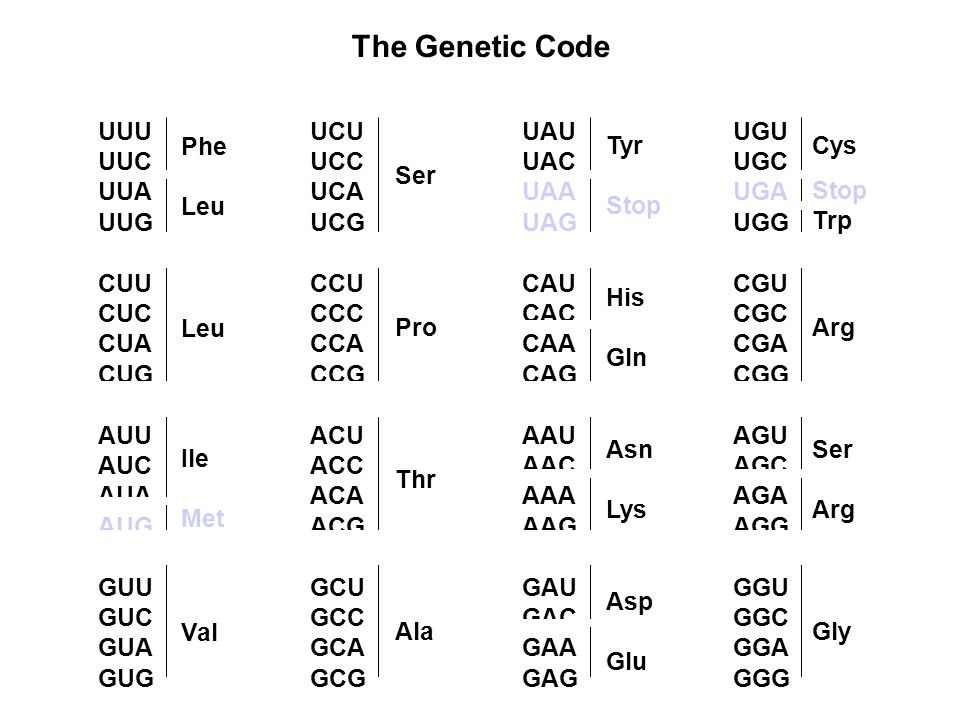 The Genetic Code UUU UUC UUA UUG CUU CUC CUA CUG AUU AUC AUA AUG GUU