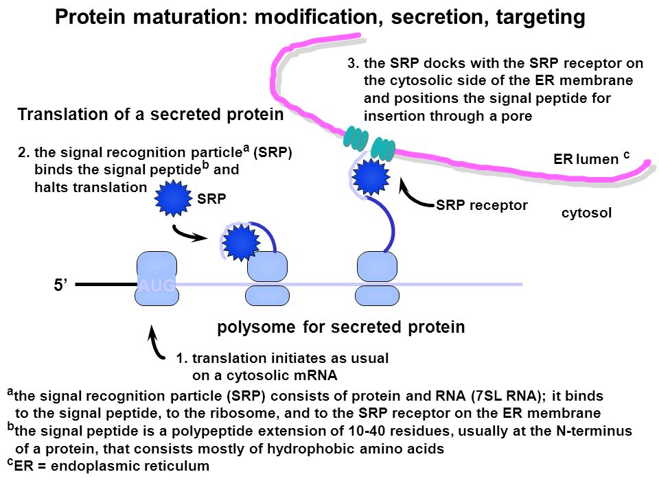 Protein maturation: modification, secretion, targeting